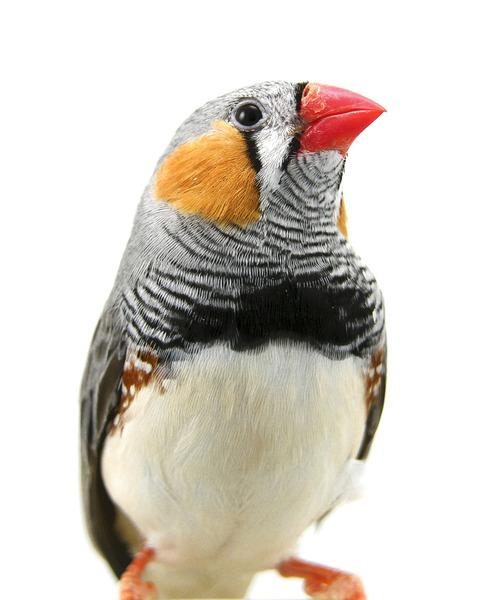 Fugle der holdes i fangenskab trives bedst hvis de får lov til at