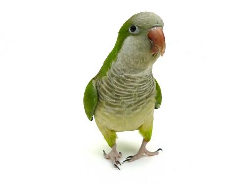 papegøje kæledyr