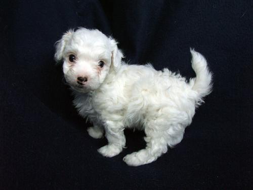 hund hvid boxer