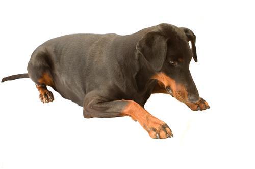 brune hunde