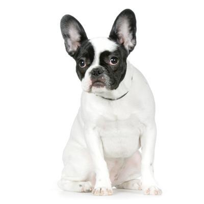 hvid fransk bulldog