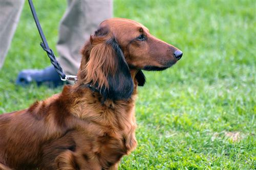 langhåret gravhund
