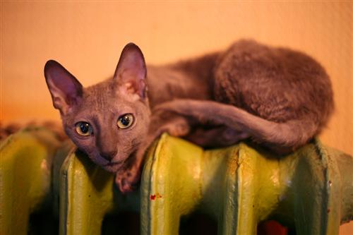 katte uden pels