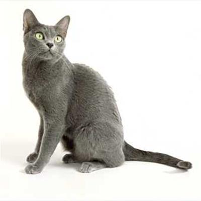 Cats Russian Blue Half